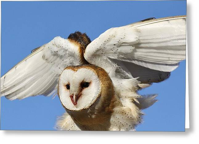 Barn Owl In Flight Greeting Card by Paulette Thomas