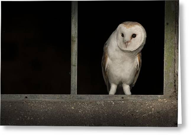 Barn Owl In Window Greeting Card