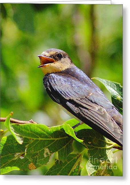 Barn Swallow In Sunlight Greeting Card by Robert Frederick