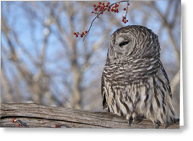 Barred Owl And Red Berries Greeting Card by Cindy Lindow