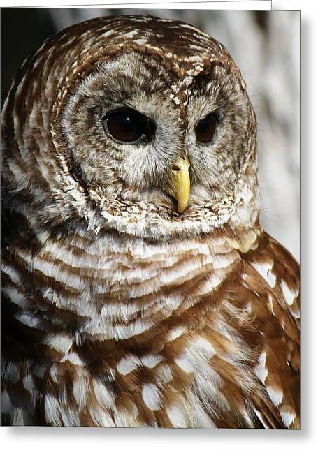 Barred Owl Greeting Card by Paulette Thomas