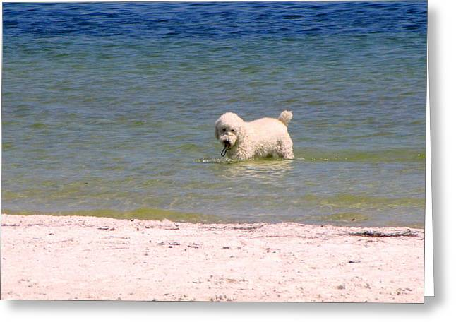 Beach Poodle Greeting Card