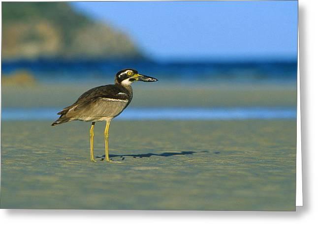 Beach Stone-curlew Greeting Card by Bruce J Robinson