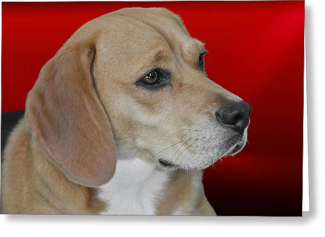 Beagle - A Hound's Hound Greeting Card by Christine Till