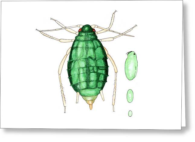 Bean Aphid Greeting Card by Dr Keith Wheeler