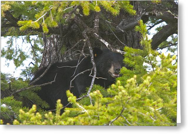Bear In A Tree Greeting Card by Charles Warren