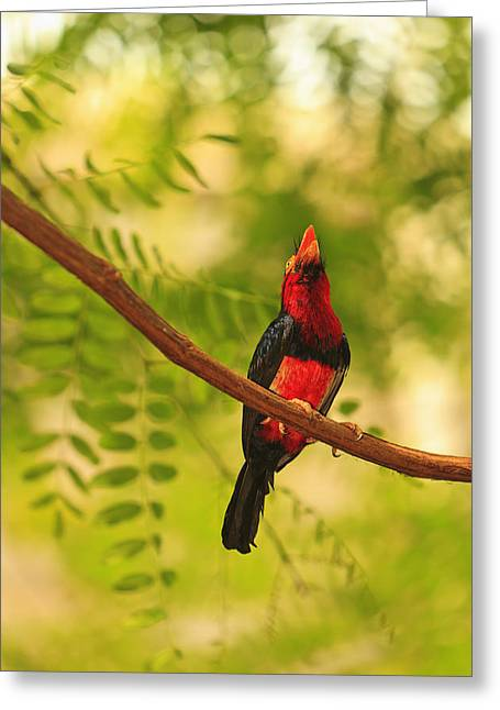 Bearded Barbet Greeting Card by Stuart Westmorland
