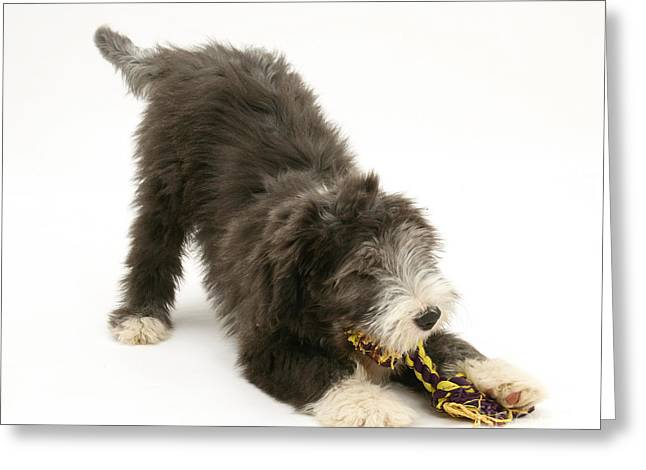 Bearded Collie Pup Playing Greeting Card by Mark Taylor