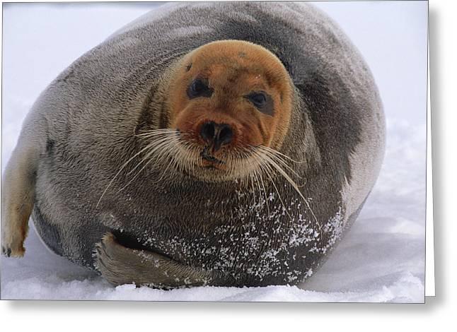Bearded Seal Erignathus Barbatus Adult Greeting Card by Flip  Nicklin