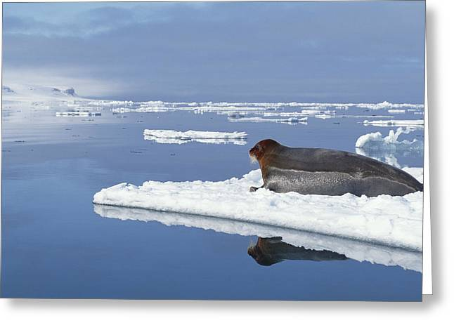 Bearded Seal Resting On Ice Floe Norway Greeting Card by Flip Nicklin