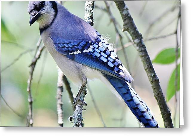 Beautiful Blue Jay Greeting Card by Paulette Thomas