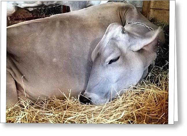 Beautiful Brown Swiss Greeting Card