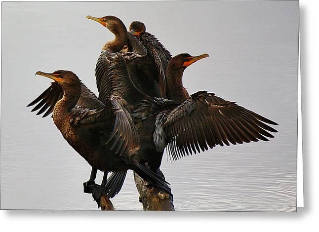 Beautiful Cormorants Greeting Card by Paulette Thomas