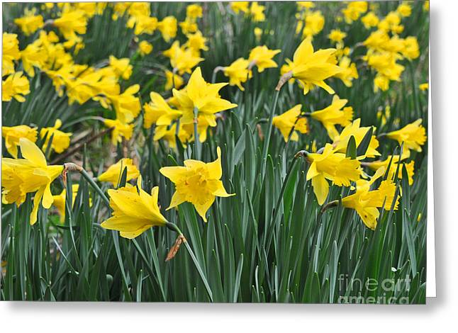 Beautiful Daffodil Field Floral Print Greeting Card