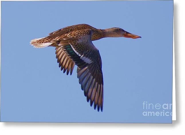 Greeting Card featuring the digital art Beautiful Duck Flying by John  Kolenberg