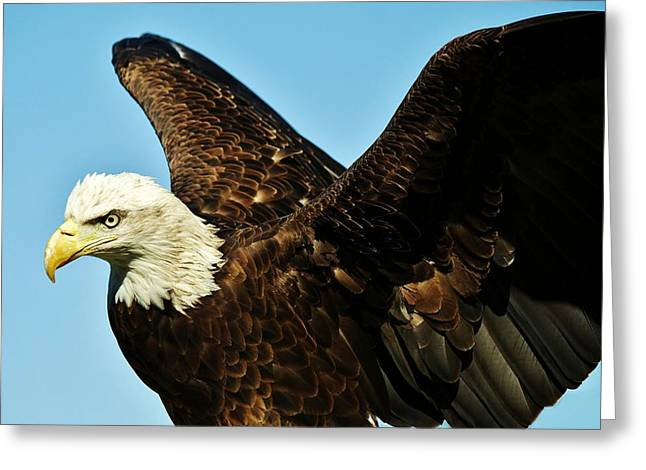 Beautiful Eagle Greeting Card by Paulette Thomas