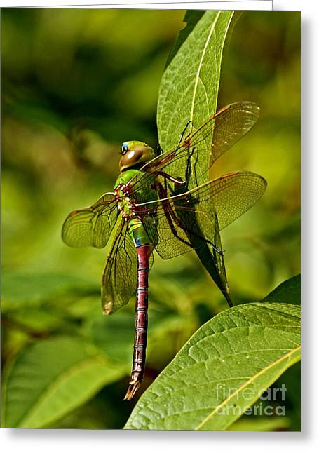 Beautiful Exotic Iridescent Dragonfly On A Leaf In The Forest Greeting Card by Inspired Nature Photography Fine Art Photography