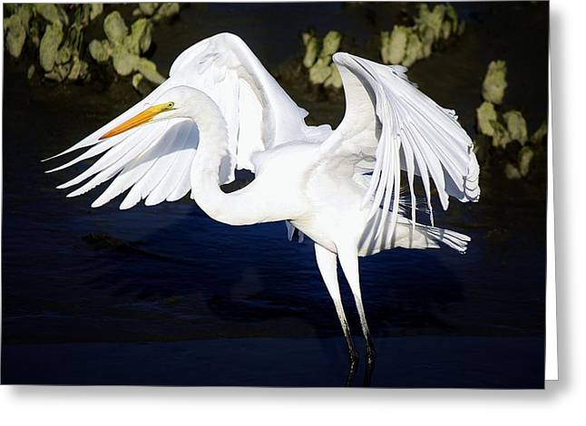 Beautiful Great White Egret Greeting Card by Paulette Thomas
