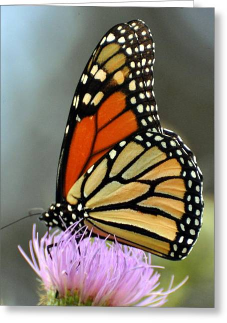 Beautiful Monarch Greeting Card by Marty Koch