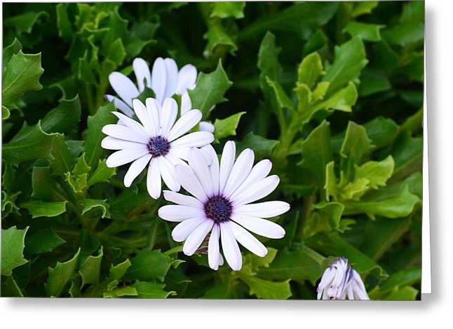 Beautiful Osteospermum Asti White Daisy Greeting Card by Carrie Munoz