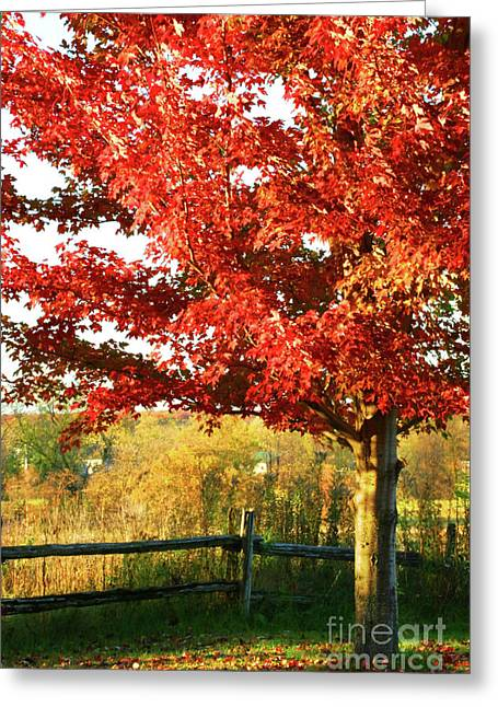 Beautiful Red Maple Tree  Greeting Card by Sandra Cunningham