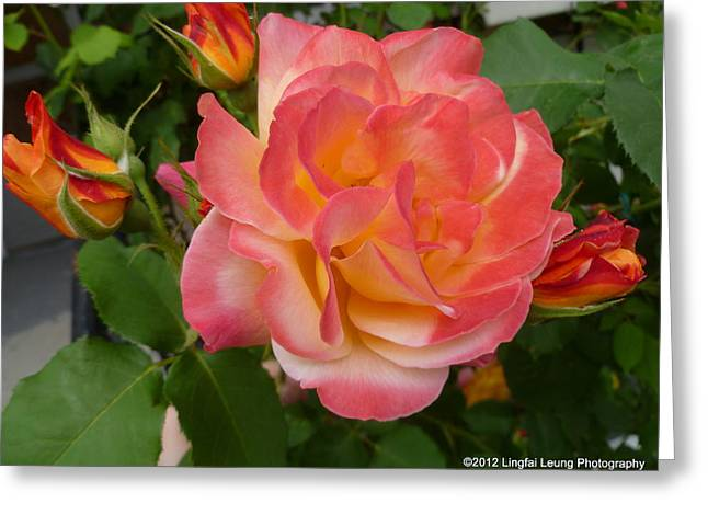 Greeting Card featuring the photograph Beautiful Rose With Buds by Lingfai Leung