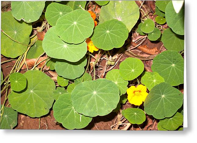 Beautiful Round Green Leaves Of A Plant With Orange Flowers Greeting Card