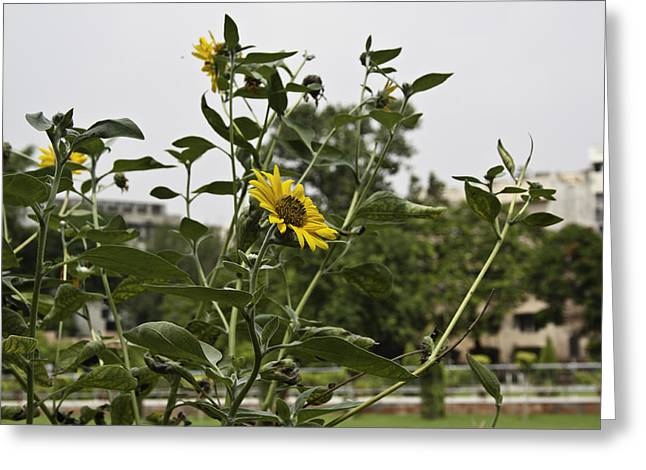 Beautiful Yellow Flower In A Garden Greeting Card by Ashish Agarwal