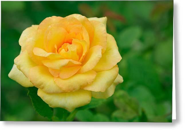 Beautiful Yellow Rose Greeting Card by Atiketta Sangasaeng