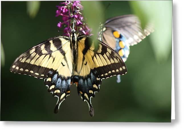 Beauty Of Butterflies  Greeting Card by Victoria  Kurlinski