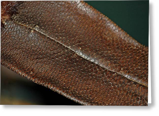 Beaver Tail Greeting Card