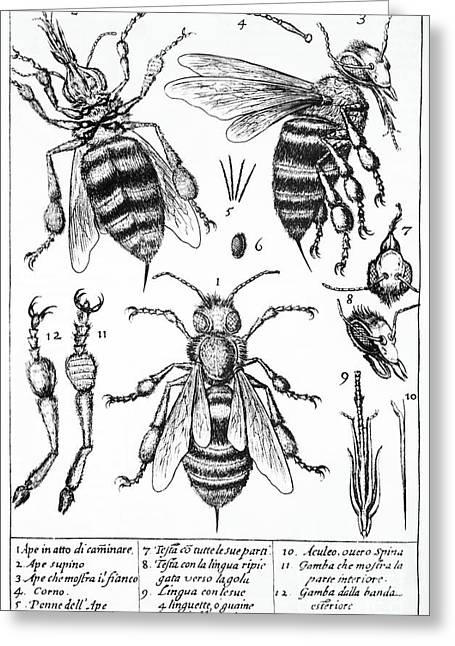 Bee Anatomy Historical Illustration Greeting Card by SPL and Photo Researchers
