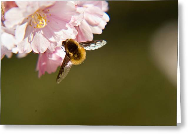 Bee Fly Feeding 4 Greeting Card by Douglas Barnett