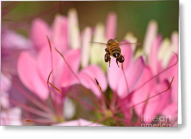 Bee In Flight Over Cleome Flower Greeting Card by Jack Schultz