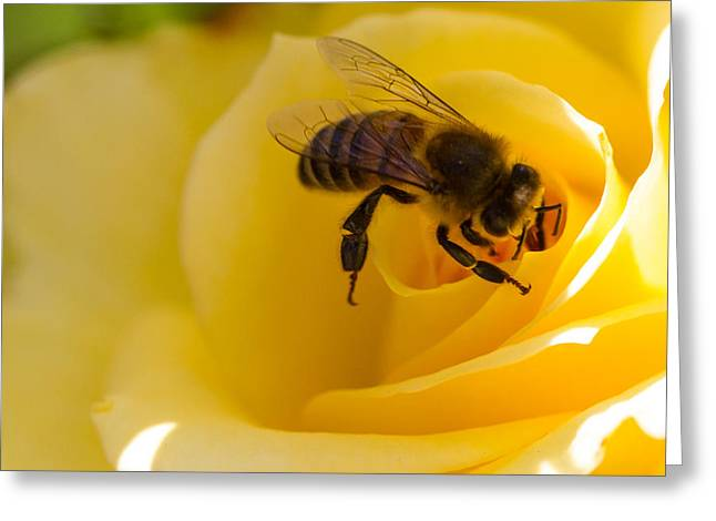 Bee Looking Down The Center Of A Yellow Rose Greeting Card by Dina Calvarese
