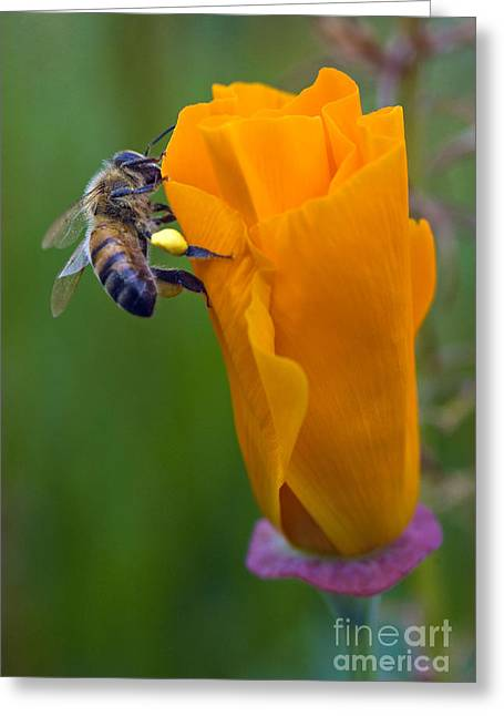 Bee On A Poppy Greeting Card by Bobbi Feasel