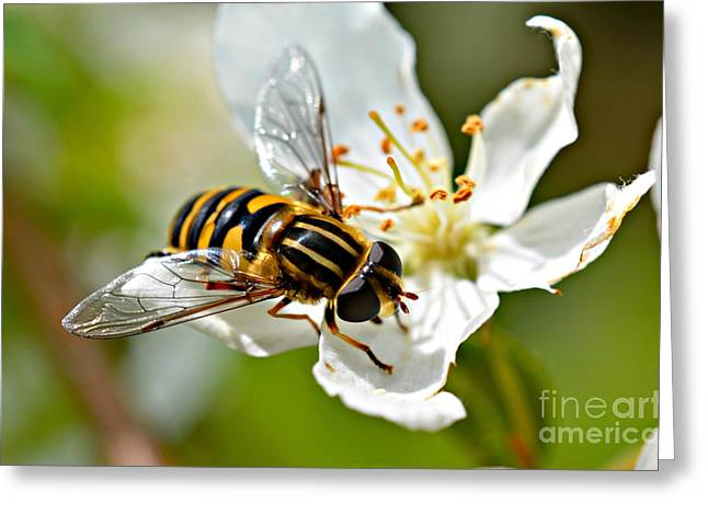Bee On Apple Blossom Greeting Card