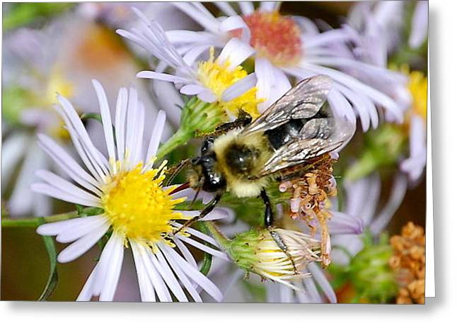 Greeting Card featuring the photograph Bee On Aster II by Mary McAvoy