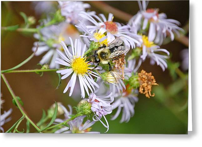 Greeting Card featuring the photograph Bee On Aster by Mary McAvoy