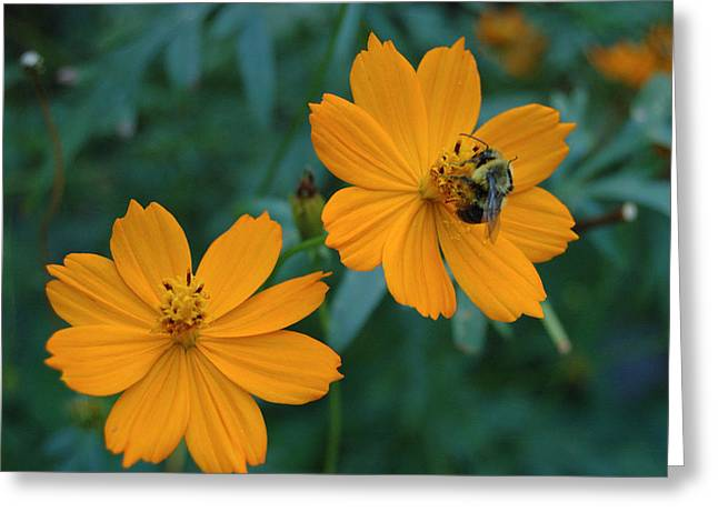 Bee On Cosmos Flower  Greeting Card