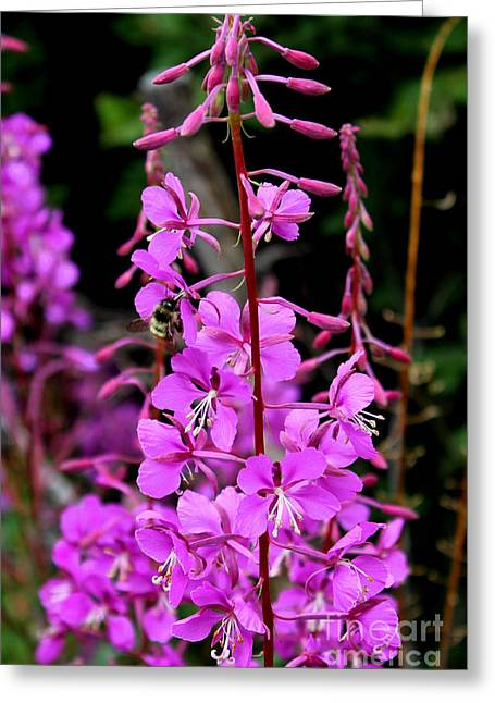 Greeting Card featuring the photograph Bee On Fireweed In Alaska by Kathy  White