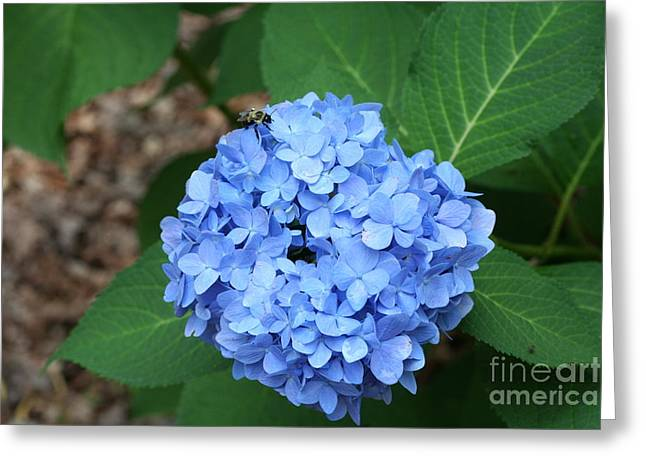 Greeting Card featuring the photograph Bee On Hydrangea by Michael Waters