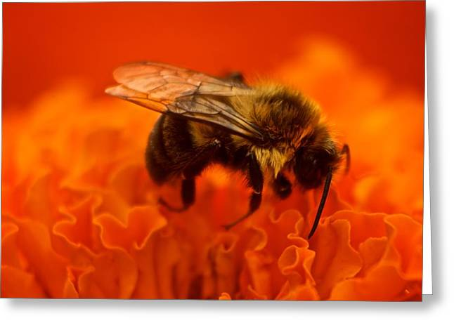 Bee On Orange Flower Greeting Card