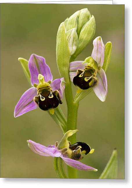 Bee Orchid (ophrys Apifera) Greeting Card by Bob Gibbons