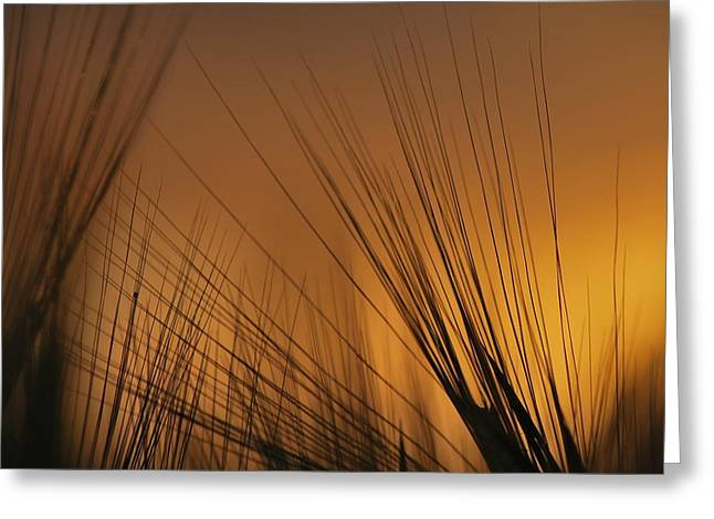 Before Harvest Greeting Card by Julianna Horvath