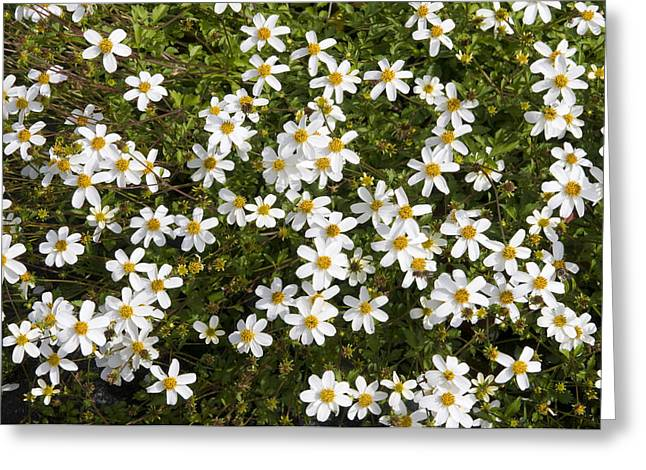 Beggartick Bidens Sp Alba Variety Greeting Card by VisionsPictures