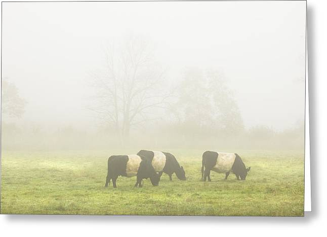 Belted Galloway Cows Grazing On Foggy Farm Field Maine Greeting Card by Keith Webber Jr