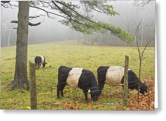 Belted Galloway Cows On Farm In Rockport Maine Photograph Greeting Card by Keith Webber Jr