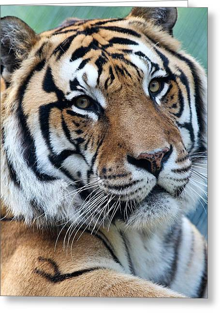Bengal Greeting Card