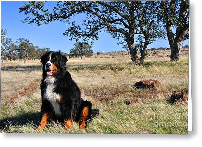 Bernese Mountain Dog In California Chaparral Greeting Card